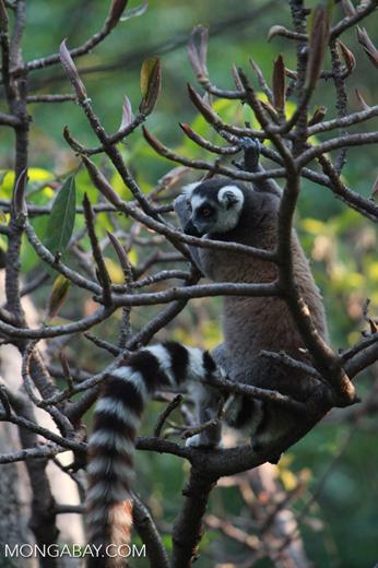 Ring-tailed lemur [madagascar_5719]