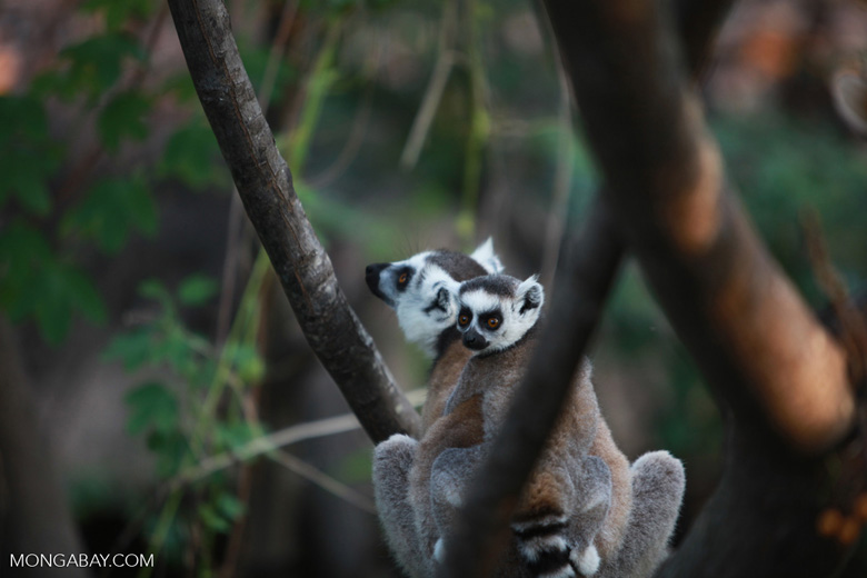 Ring-tailed lemur with baby [madagascar_5732]