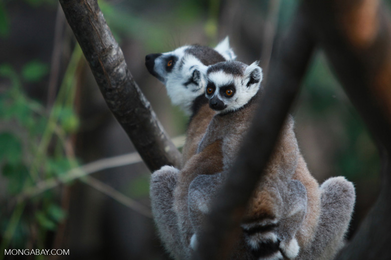Ring-tailed lemur with baby [madagascar_5733]