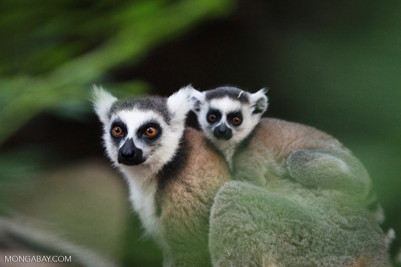 Ring-tailed lemur with baby [madagascar_5740]