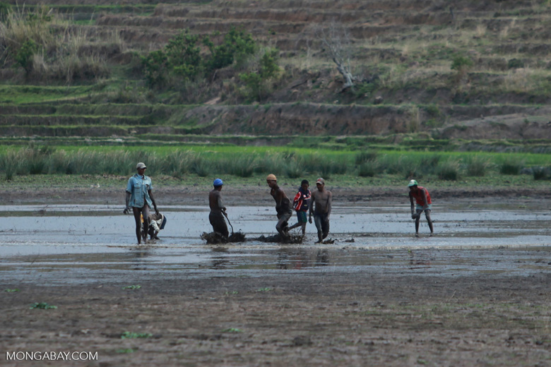 Plowing the rice fields [madagascar_5767]