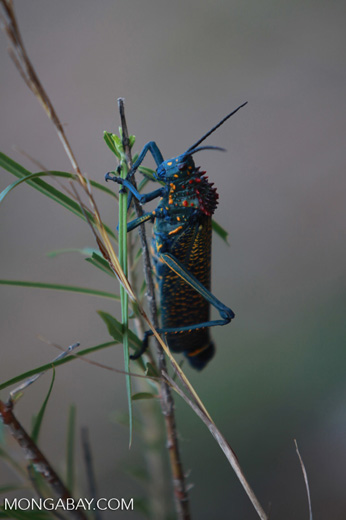 Red, blue, green, and yellow grasshopper from Madagascar