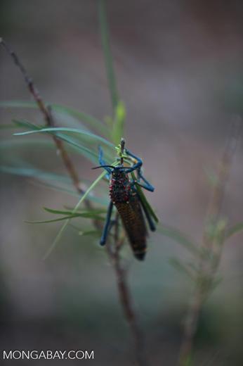 Rainbow Milkweed Locust (Phymateus saxosus), a toxic species due to its propensity to eat milkweed
