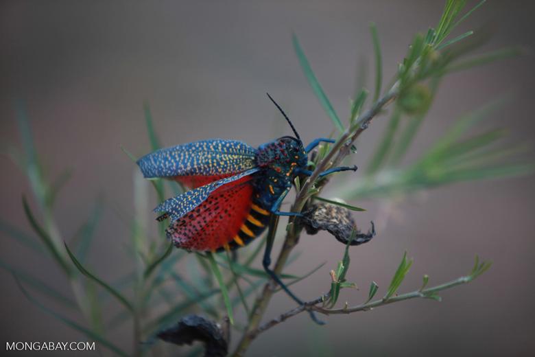 Giant Milkweek Locust [madagascar_5792]