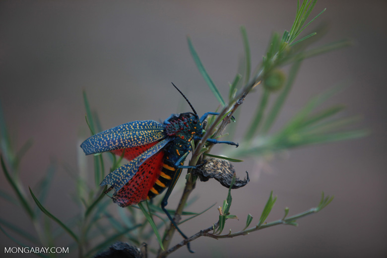 Rainbow Bush Locust (Phymateus saxosus) [madagascar_5795]