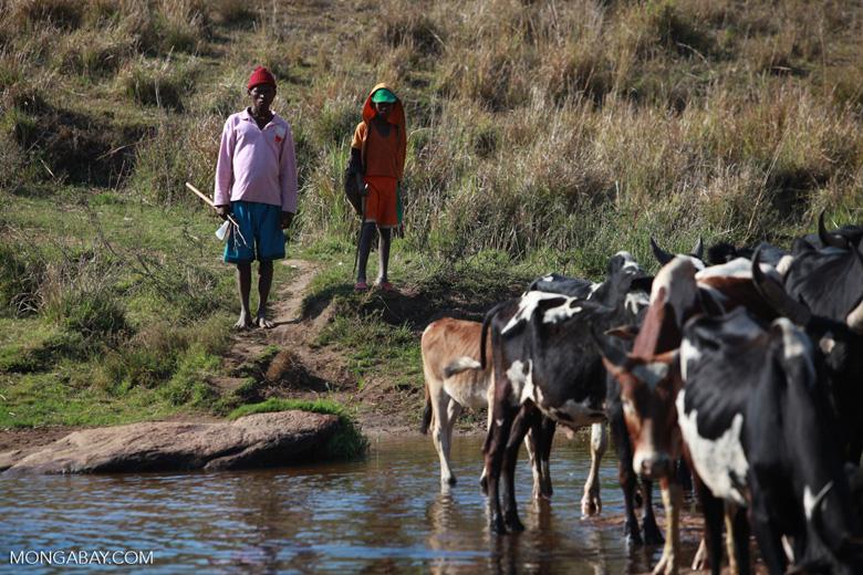 Bara cattle herders