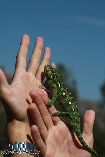 Carpet Chameleon (Furcifer lateralis) [madagascar_6031]