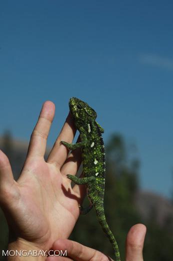 Carpet Chameleon (Furcifer lateralis) [madagascar_6032]