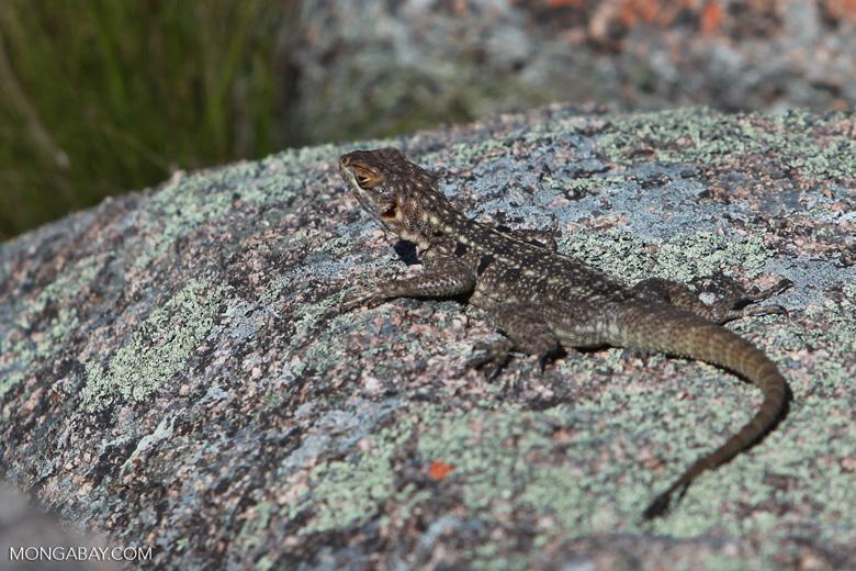 Lizard [madagascar_6056]