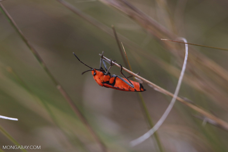 Red-orange insect (Dyserdycus genus) in the Pyrrhocoridae family (true bugs)