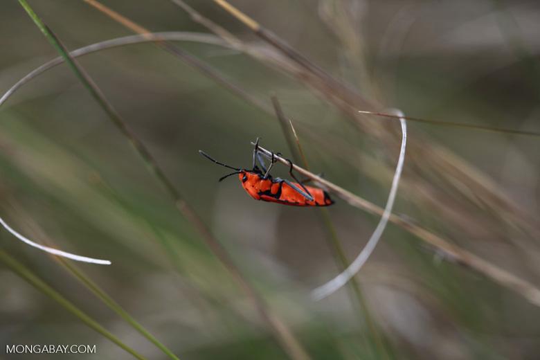 Red-orange insect (Dyserdycus genus) in the Pyrrhocoridae family (true bugs) [madagascar_6112]