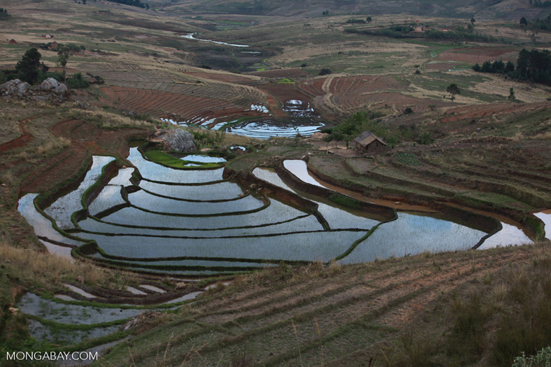 Flooded terraced rice fields in the Antanifotsy Valley [madagascar_6219]