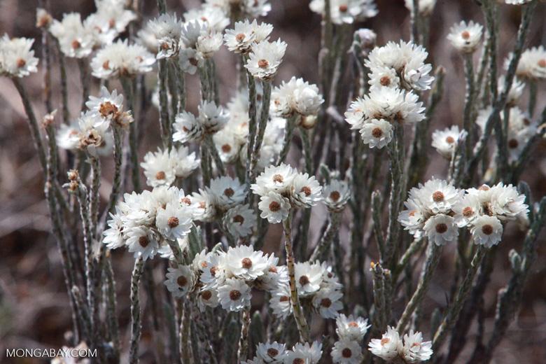 Andringitra plant [madagascar_6493]