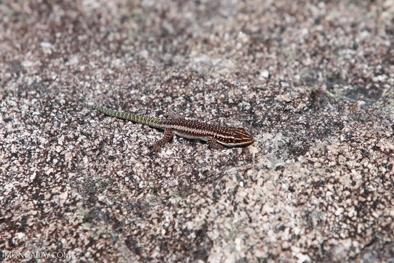 Gecko [madagascar_6550]