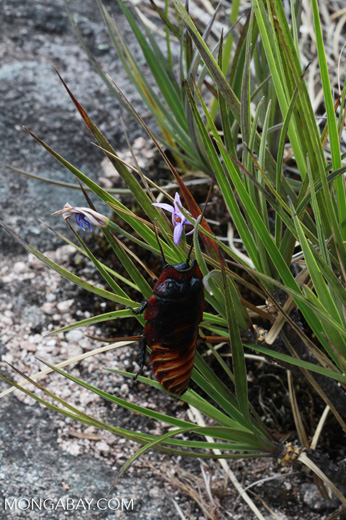 Giant hissing cockroach pollinating a purple flower