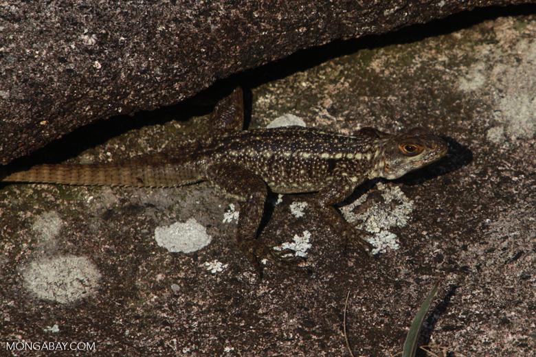 Lizard [madagascar_6690]