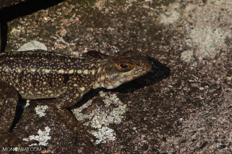 Lizard [madagascar_6692]