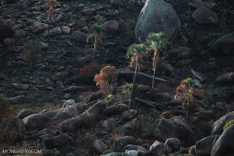 Cattle grazing on the edge of Andringitra [madagascar_6695]