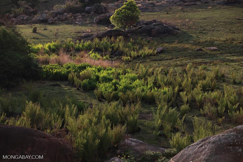 Ferns illuminated in the late afternoon sun [madagascar_6740]