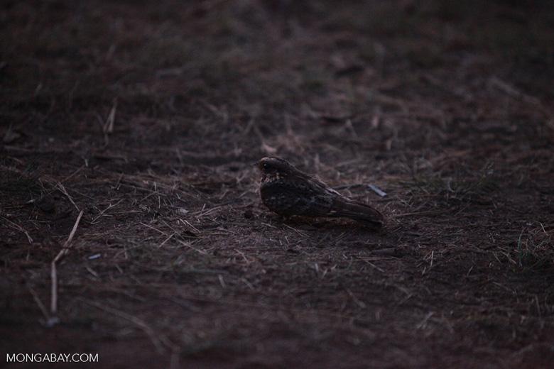 Madagascar Nightjar (Caprimulgus madagascariensis) [madagascar_6785]