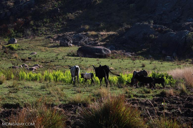 Zebu cattle in Madagascar [madagascar_6795]