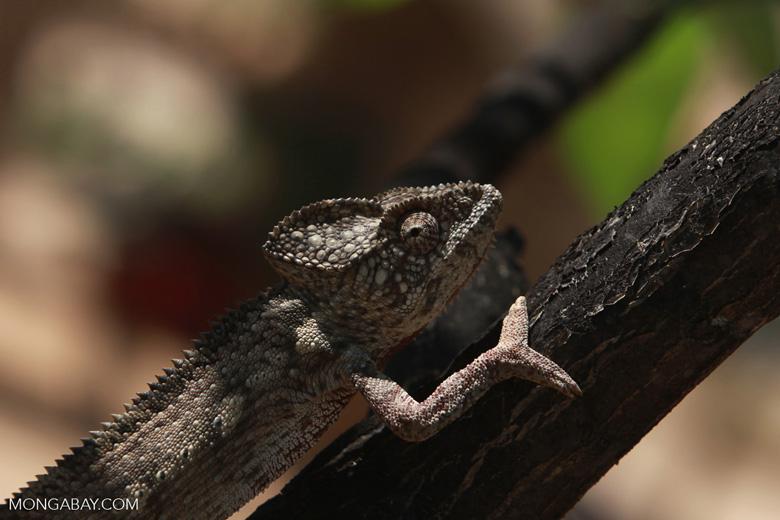 Oustalet's chameleon [madagascar_7075]