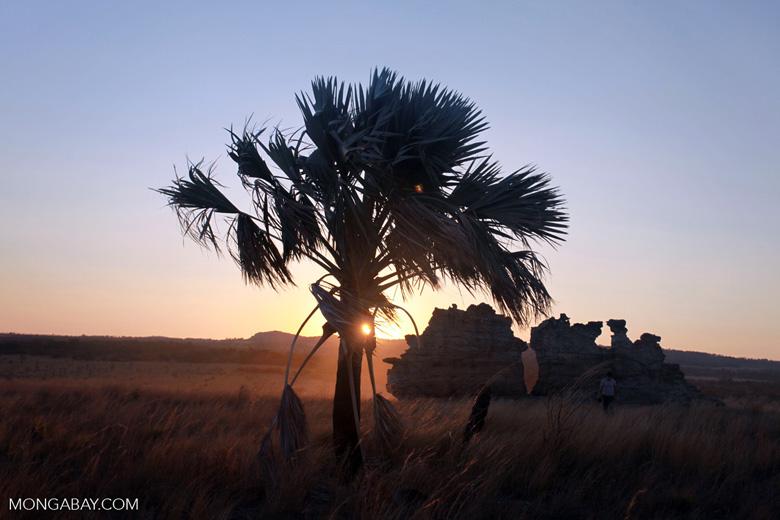 Bismarck Palm (Bismarckia nobilis) at sunset [madagascar_7119]