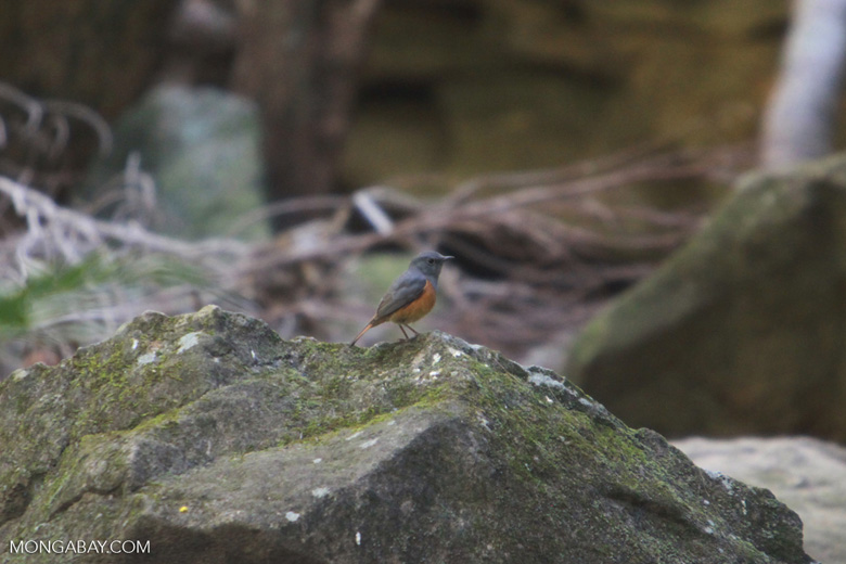 Benson's Rock-thrush (Monticola sharpei bensoni)
