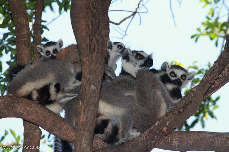 Family of ring-tailed lemurs. Photo by Rhett A. Butler.