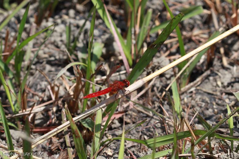 Red dragonfly [madagascar_7276]