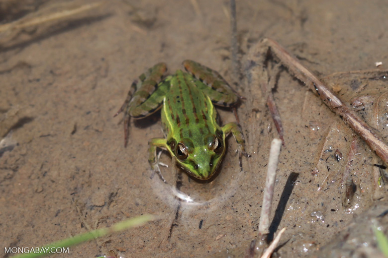 Mascarene Grass Frog (Ptychadena mascareniensis)