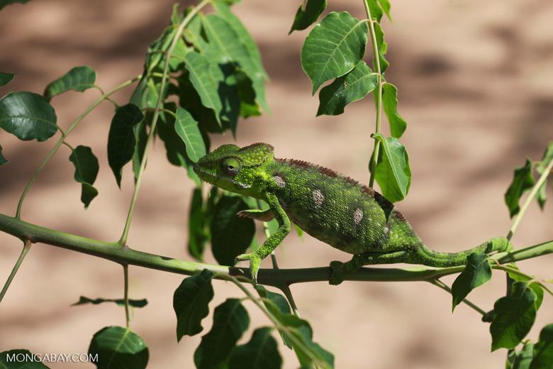 Furcifer oustaleti chameleon (juvenile-bright green) [madagascar_7297]