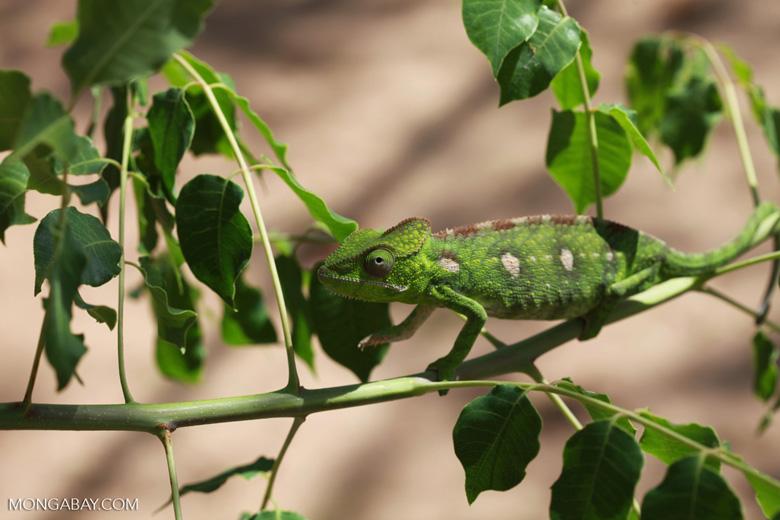 Furcifer oustaleti chameleon (juvenile-bright green) [madagascar_7303]