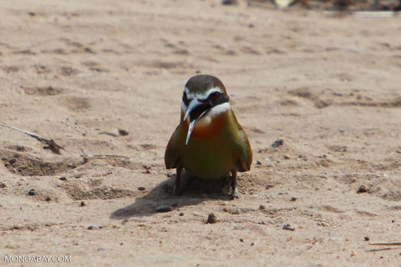 Madagascar bee-eater [madagascar_7315]