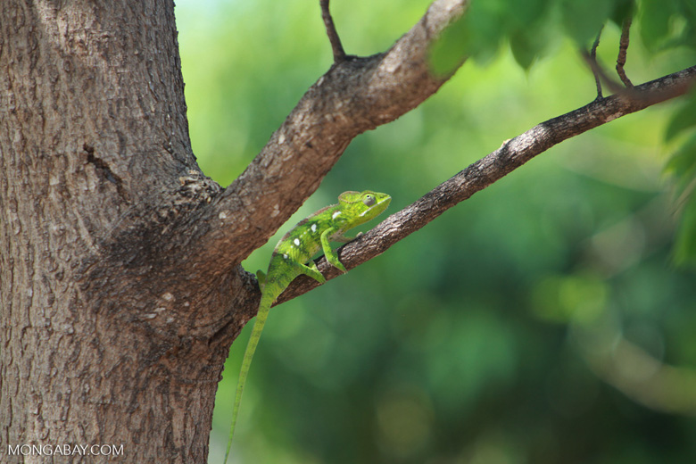 Furcifer oustaleti chameleon (juvenile-bright green) [madagascar_7325]