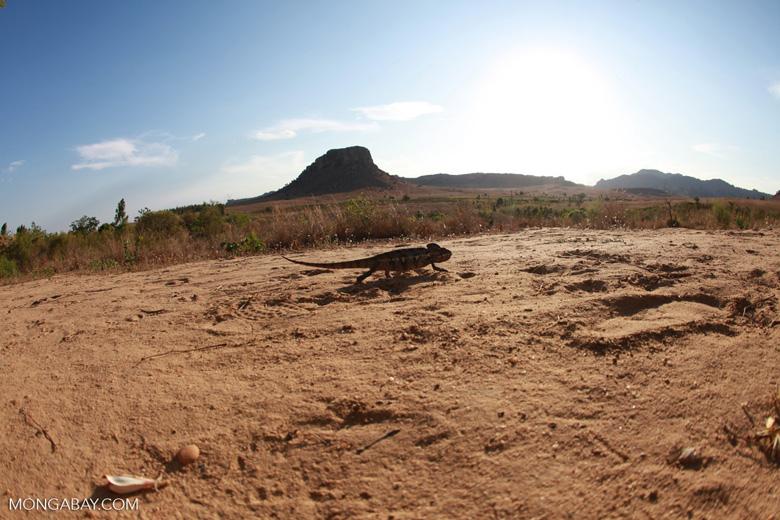 Oustalet's chameleon walking across sand near Isalo [madagascar_7339]