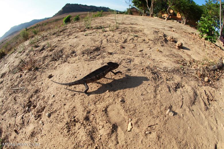 Oustalet's chameleon walking across sand near Isalo [madagascar_7351]