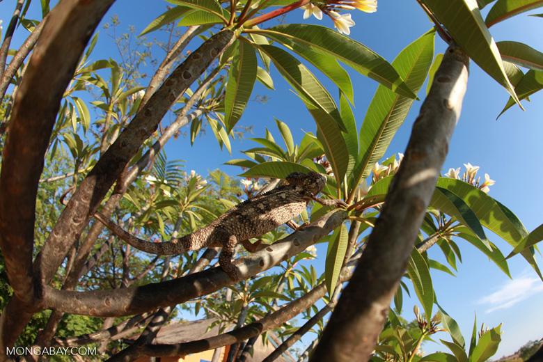 Oustalet's chameleon in a Plumeria tree [madagascar_7357]