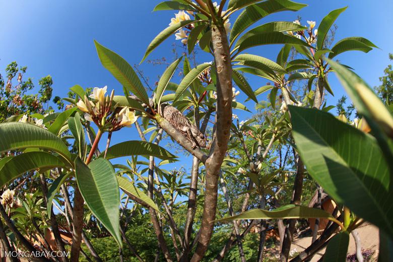 Oustalet's chameleon in a Plumeria tree [madagascar_7360]