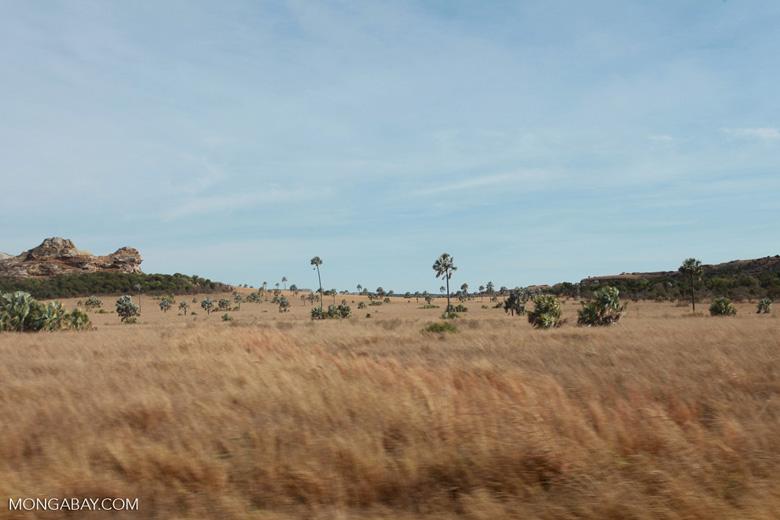 Bismarck Palms (Bismarckia nobilis) and savanna near Isalo [madagascar_7392]