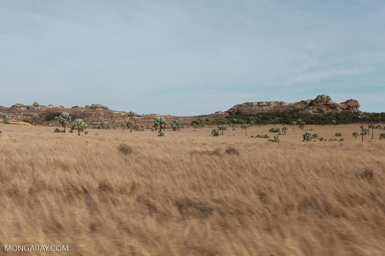 Bismarck Palms (Bismarckia nobilis) and savanna near Isalo [madagascar_7395]