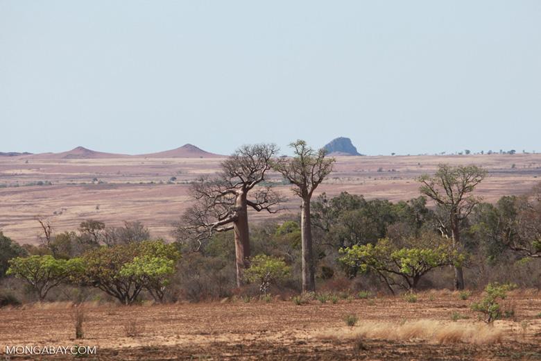 Baobabs [madagascar_7421]