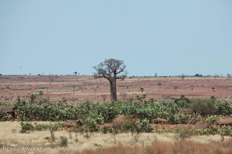 Adansonia za Baobabs [madagascar_7463]
