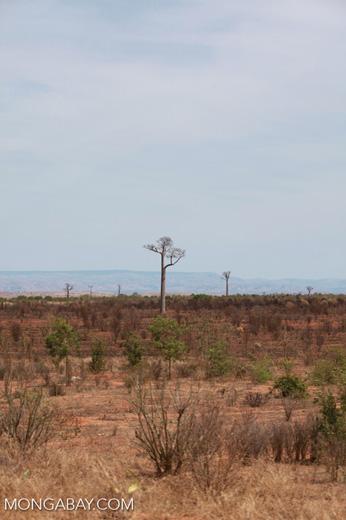 Adansonia za Baobabs [madagascar_7472]