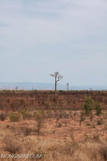 Adansonia za Baobabs [madagascar_7473]