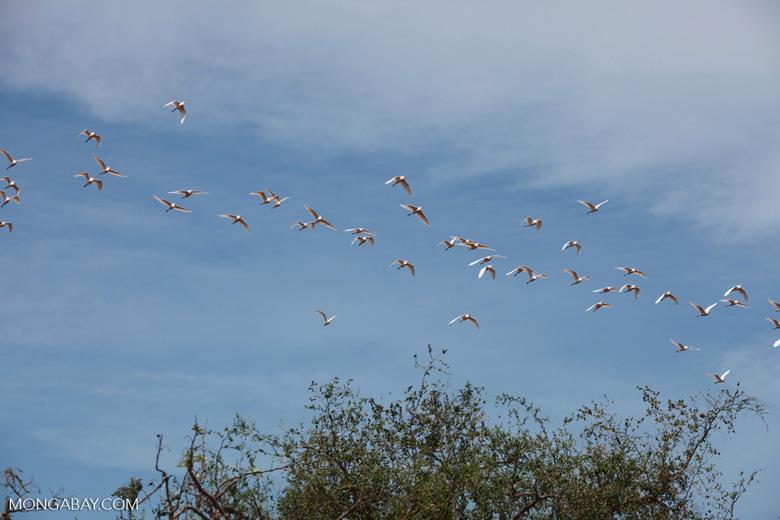 Flock of storks in flight