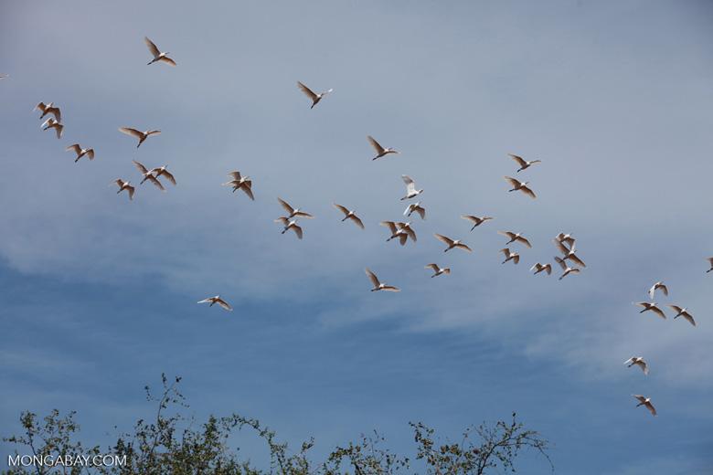Flock of storks in flight [madagascar_7481]