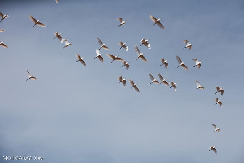 Flock of storks in flight [madagascar_7483]