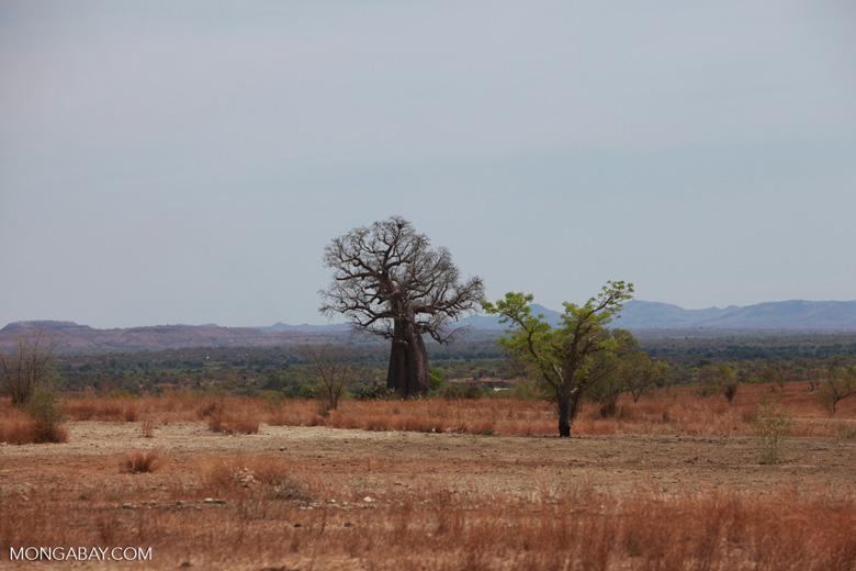 Baobabs [madagascar_7490]
