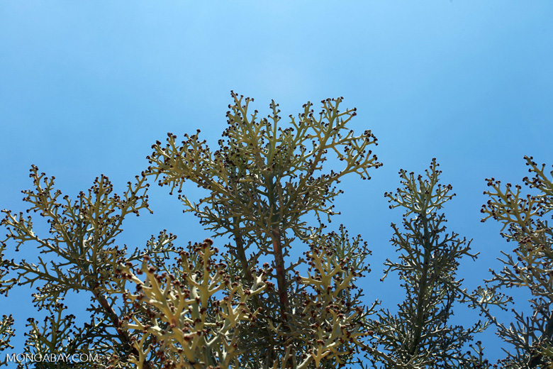 Spiny forest vegetation (Euphorbia stenoclada)